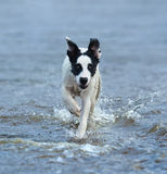 Puppy of mongrel running on water. Royalty Free Stock Image