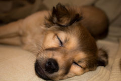 Puppy. Mongrel puppy sleeping on the sofa Stock Photo
