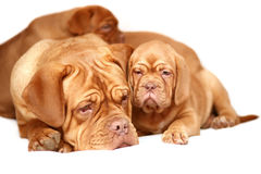 Puppy with a mother. Dogs of breed dog from Bordeaux Stock Image