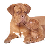 Puppy with mum royalty free stock photography