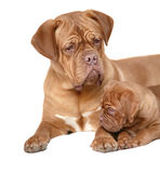 Puppy with mum Stock Photos