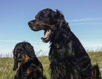 Puppy and Mummy-Gordon Setter Stock Photo