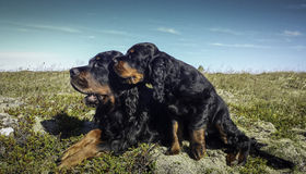 Puppy and Mummy-Gordon Setter Royalty Free Stock Image