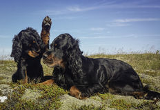 Puppy and Mummy-Gordon Setter Stock Photos