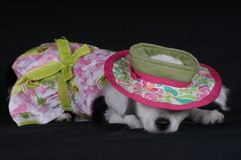 Puppy Nap. Dressed-up chihuahua taking a nap royalty free stock image