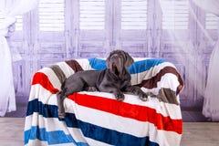 Puppy Neapolitana mastino lying on the sofa. Dog handlers training dogs since childhood. Stock Images