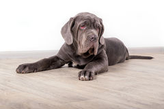 Puppy Neapolitana mastino, sitting on the floor in the studio. Dog handlers training dogs since childhood. Royalty Free Stock Photos