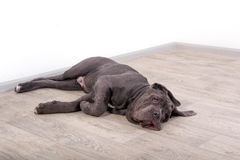 Puppy Neapolitana mastino, sitting on the floor in the studio. Dog handlers training dogs since childhood. Royalty Free Stock Image