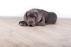 Puppy Neapolitana mastino, sitting on the floor in the studio. Dog handlers training dogs since childhood. Puppy Neapolitana mastino, sitting on the floor in Royalty Free Stock Photos