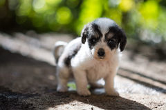 Puppy Dog. New Born Puppies standing on his own Stock Images