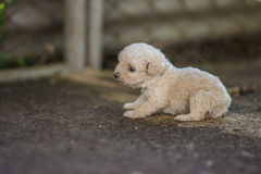 Puppy Dog. New Born Puppies standing on his own Royalty Free Stock Images