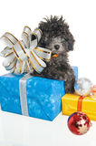 Puppy  with New Year's gifts. The small puppy of a poodle with New Year's gifts Stock Photo