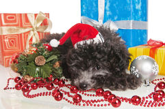 Puppy  with New Year's gifts. The small puppy of a poodle with New Year's gifts Royalty Free Stock Image