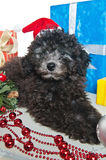 Puppy  with New Year's gifts. The small puppy of a poodle with New Year's gifts Royalty Free Stock Photography