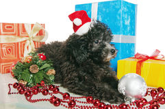 Puppy  with New Year's gifts. The small puppy of a poodle with New Year's gifts Stock Image