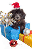 Puppy  with New Year's gifts. The small puppy of a poodle with New Year's gifts Stock Photos