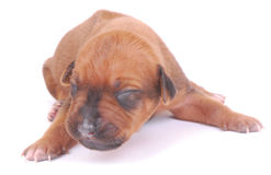 Puppy newborn Royalty Free Stock Photos