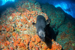Puppy newborn californian sea lion seal portrait Royalty Free Stock Photo