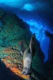 Puppy newborn californian sea lion seal portrait Royalty Free Stock Images