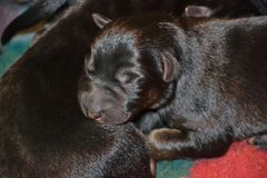Puppy4. Newborn German Shepherd Dog puppy black and tan color Stock Photo