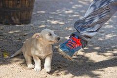 Puppy newborn White Pomeranian dog Royalty Free Stock Images