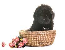 Puppy newfoundland dog stock photography