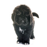 Puppy newfoundland dog. In front of white background stock photography