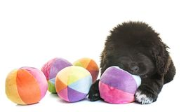 Puppy newfoundland dog royalty free stock photos