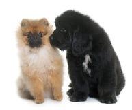 Puppy newfoundland dog and spitz stock photo