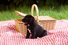 Puppy Next to Basket Stock Image