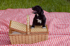 Puppy Next to Basket Stock Photography
