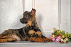 Puppy next to a bouquet of roses Stock Images