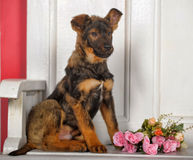 Puppy next to a bouquet of roses Stock Photo