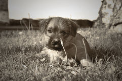 Puppy Norfolk terrier. Norfolk terrier puppy laying in grass chewing on flower royalty free stock images