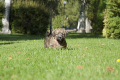 Puppy Norfolk terrrier. A six weeks old norfolk teriier puppy in a park stock photography