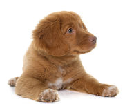 Puppy Nova Scotia Duck Tolling Retriever Royalty Free Stock Image