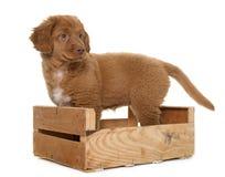 Puppy Nova Scotia Duck Tolling Retriever Stock Photos