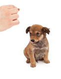 Puppy Obedience Training Stock Photo