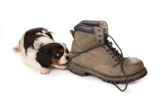 Puppy with old boot Stock Image