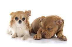 Puppy old english bulldog and chihuahua Royalty Free Stock Image