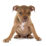 Puppy old english bulldog. In front of white background royalty free stock images