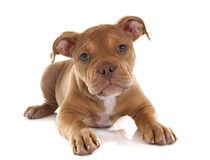 Puppy old english bulldog. In front of white background royalty free stock photos