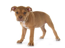Puppy old english bulldog. In front of white background royalty free stock photography