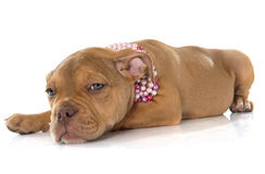 Puppy old english bulldog. In front of white background stock images