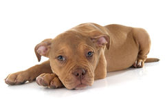 Puppy old english bulldog Stock Photography