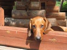 Puppy oog-2 Stock Afbeelding