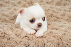 Puppy op beige mat Stock Afbeeldingen