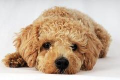 puppy op de wijze om longing Stock Afbeelding