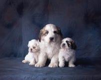 3 puppy op een blauwe achtergrond Stock Fotografie