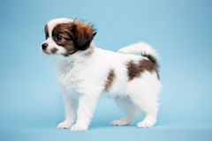 Puppy op een blauwe achtergrond Royalty-vrije Stock Afbeeldingen